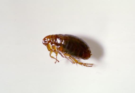 1stClass Carpet Cleaners Leicester close up of a flea.