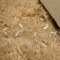 carpet moth treatment Leicester, melton.